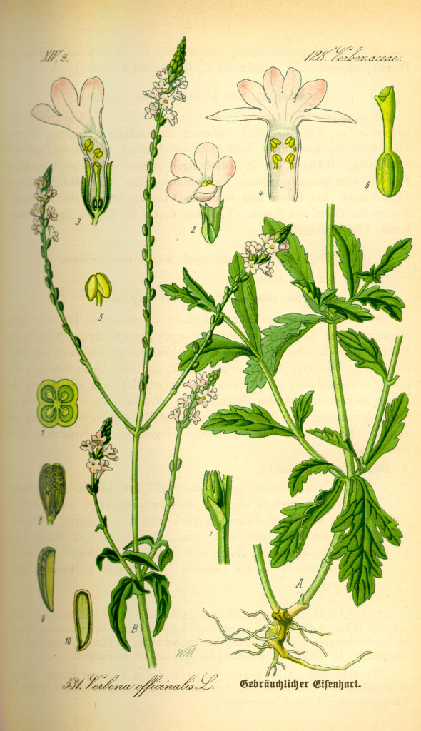 Illustration_Verbena_officinalis0