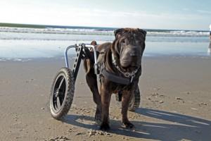 <!--:it-->Trapianto di staminali olfattive su i cani paralizzati<!--:--><!--:en-->Transplantation of olfactory stem of the paralyzed dogs<!--:--><!--:fr-->Transplantation de cellules souches olfactives des chiens paralysés<!--:-->