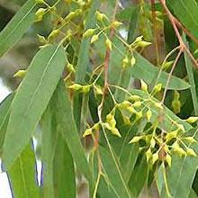 <!--:it-->Scoperte tracce di oro sulle foglie di eucalipto<!--:-->