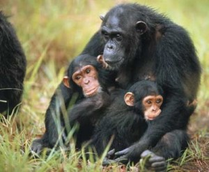 <!--:it-->Gli scimpanzè cuccioli con le stesse emozioni degl&#8217;uomini<!--:-->